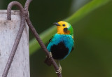 Multicoloured Tanager (m)