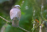 White-Throated-Qual-Dove.