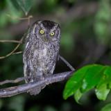 Peruvian-Screech Owl