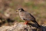 Croaking-Ground Dove.j