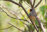 Little-Inca Finch