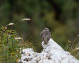 Very rare birds in Sweden
