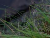 Blågrön mosaikslända