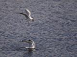 Mew Gull,Black-headed Gull