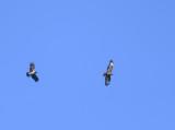 Common Buzzard,Carrion Crow