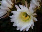 Cactus Flowers ll