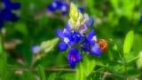 Texas Wildflower Report 2010