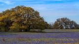 Oak Blue II