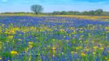 Oak Blue and Yellow