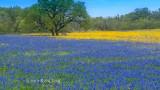 Oak Blue Windmill