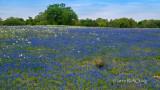 Old Oak Blue