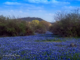 Texas Wildflower Report