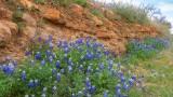 Bluebonnets on the Rocks