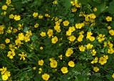 Creeping buttercup-Ranunculus repens