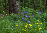Breitnau-black-forest-wildflowers