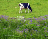 Cow in Pasture with Wildflowers