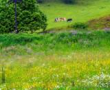 Breitnau Wildflower Pasture