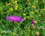 Centaurea scabiosa-Greater Knapweed