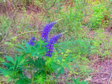 Bedburg Lupines Point The Way