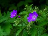 Breitnau-Blackforest Geranium Pratense