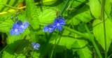 Koenigssee-Veronica chamaedrys