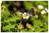 Greenish blue butterfly