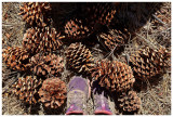 Jeffrey or ponderosa pine cones