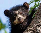 Spectacled Bear - Cub