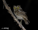 Western Peruvian Screech-Owl
