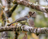 Pale-edge Flycatcher