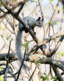 Guayaguil Squirrel