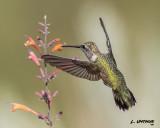 Black-chinnedb Hummingbird