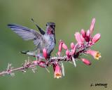 Anna's Hummingbird-juvenile male