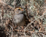 White-throated Sparrow juvenile