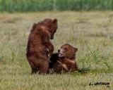 Katmai Grizzly Bear cubs