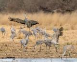 Sandhhill Cranes
