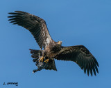 Juvenile Bald Eagle with a Coot