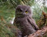 Western Screech-Owl - fledgling