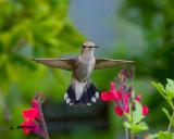 Black-chinned Hummingbird - female