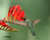 Black-chinned Hummingbird - male