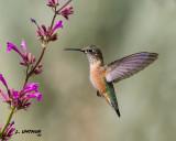 Calliope Hummingbird - juvenile