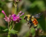 Hunt's Bumblebee