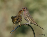 House Finch vs White-crownd Sparrow