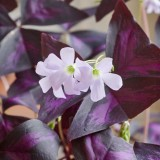 threeleaf purple SHAMROCK @f16 0.52m Z7