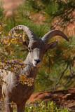 Bighorn Sheep Gallery
