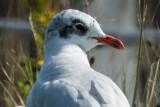 Skua's, Gulls andTerns