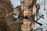 clydebirds