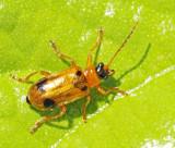Frossörtsbladbagge (Phyllobrotica quadrimaculata).jpg