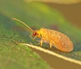 Swedish Hemerobiidae and Chrysopidae