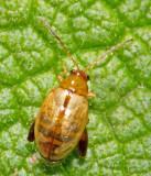 Alticinae, Flea beetles, Jordloppor